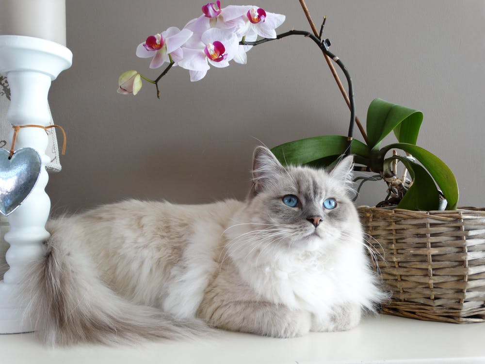 Gray and White Maine Coon Cat Beside Brown Wicker Basket