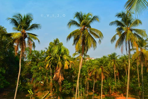 Free stock photo of coconut trees, kerala