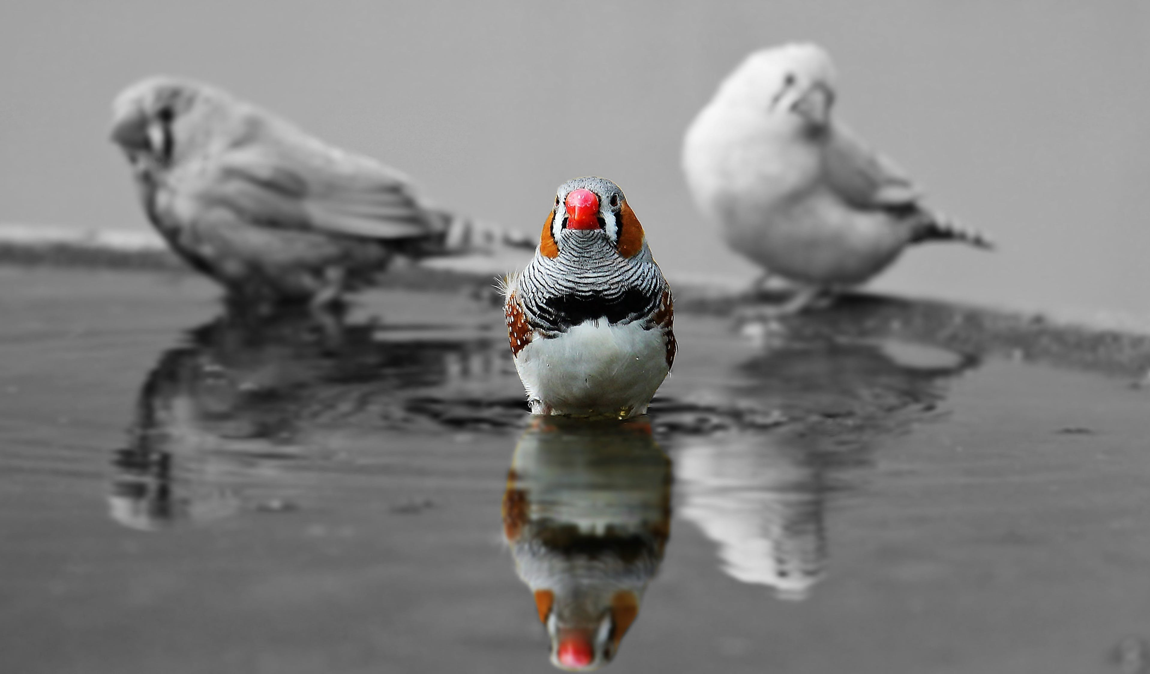 Selective Color Photography of Bird