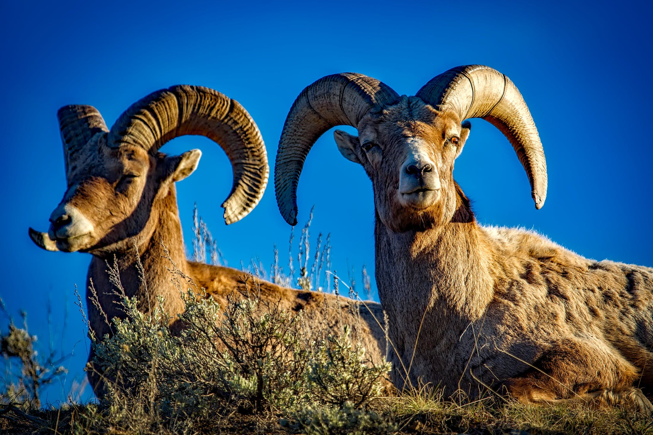 Two Rams Lying on Ground during Day