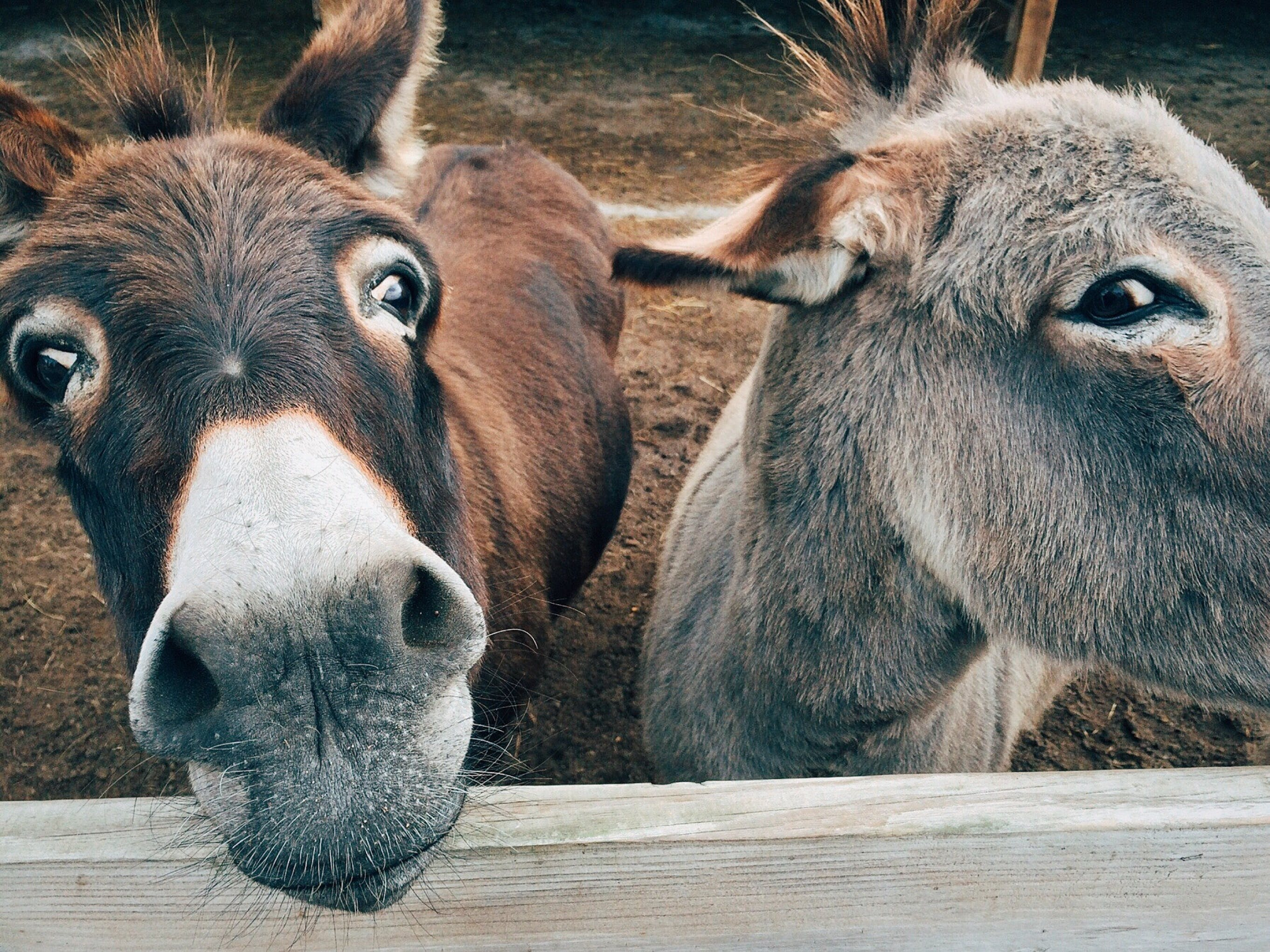 2 Brown and Grey Donkey Closeup Photography