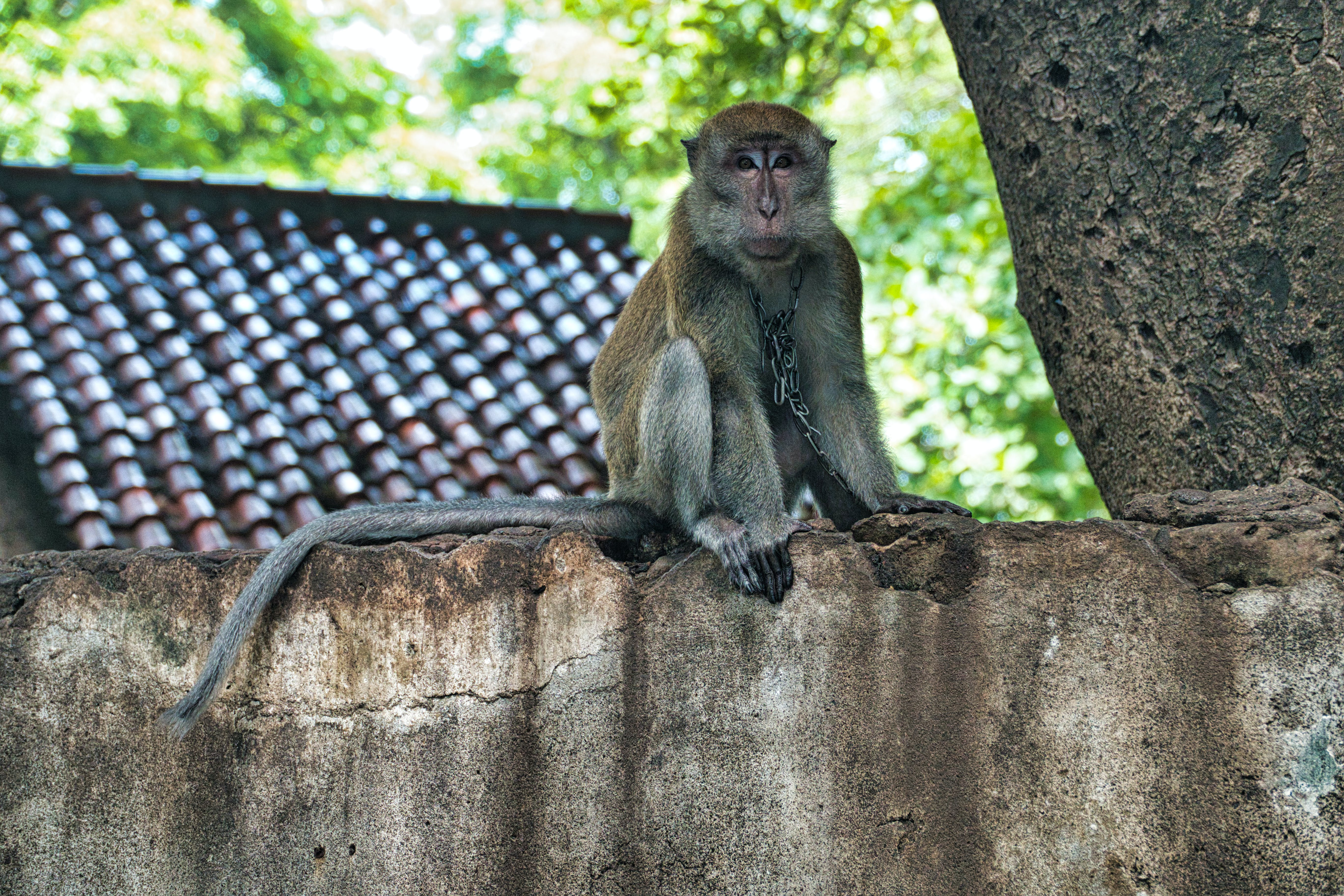 Primate With Chain Necklace