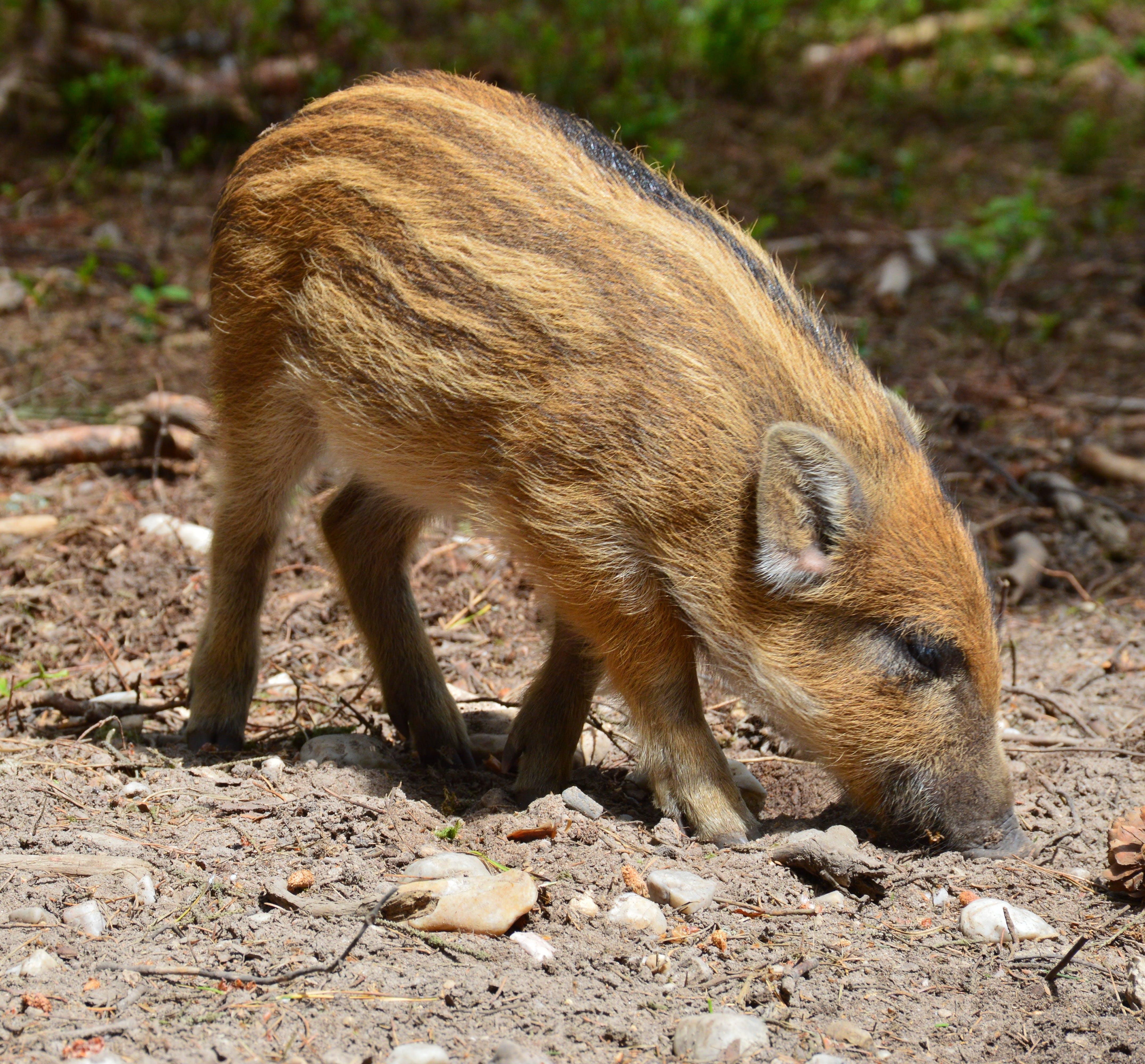 Free stock photo of animal, brood, cub, hog wild