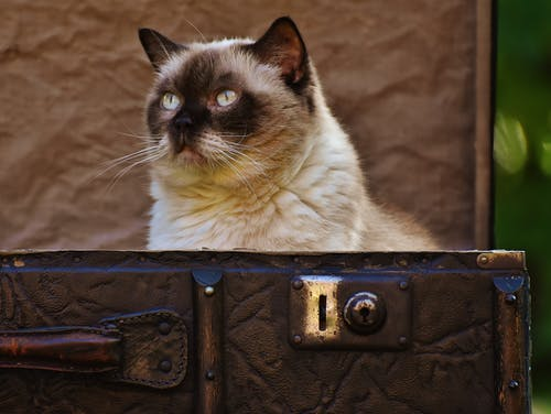 Siamese Cat on Brown Box