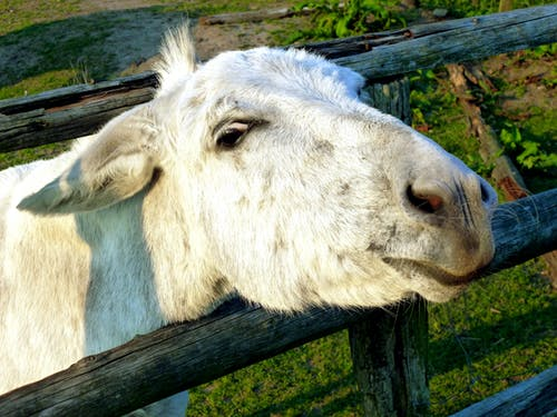 White Goat Beside Fence