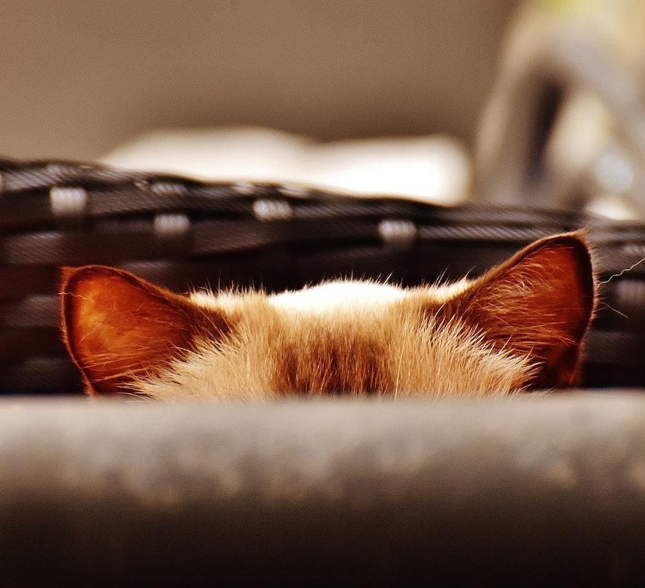 Sentidos gatos - Oído
