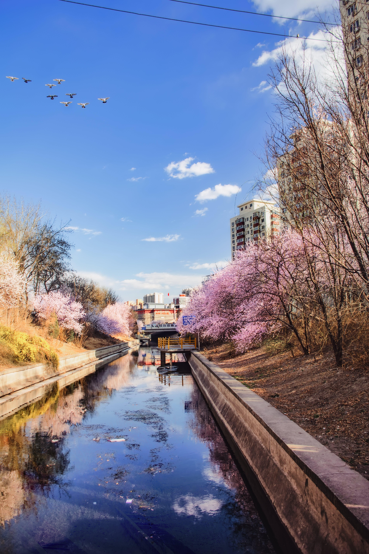 Foto stok gratis 倒影, 北京, 春天, 桃花