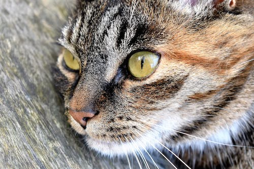 Gray Tabby Cat on Gray Surface in Close-up Photo