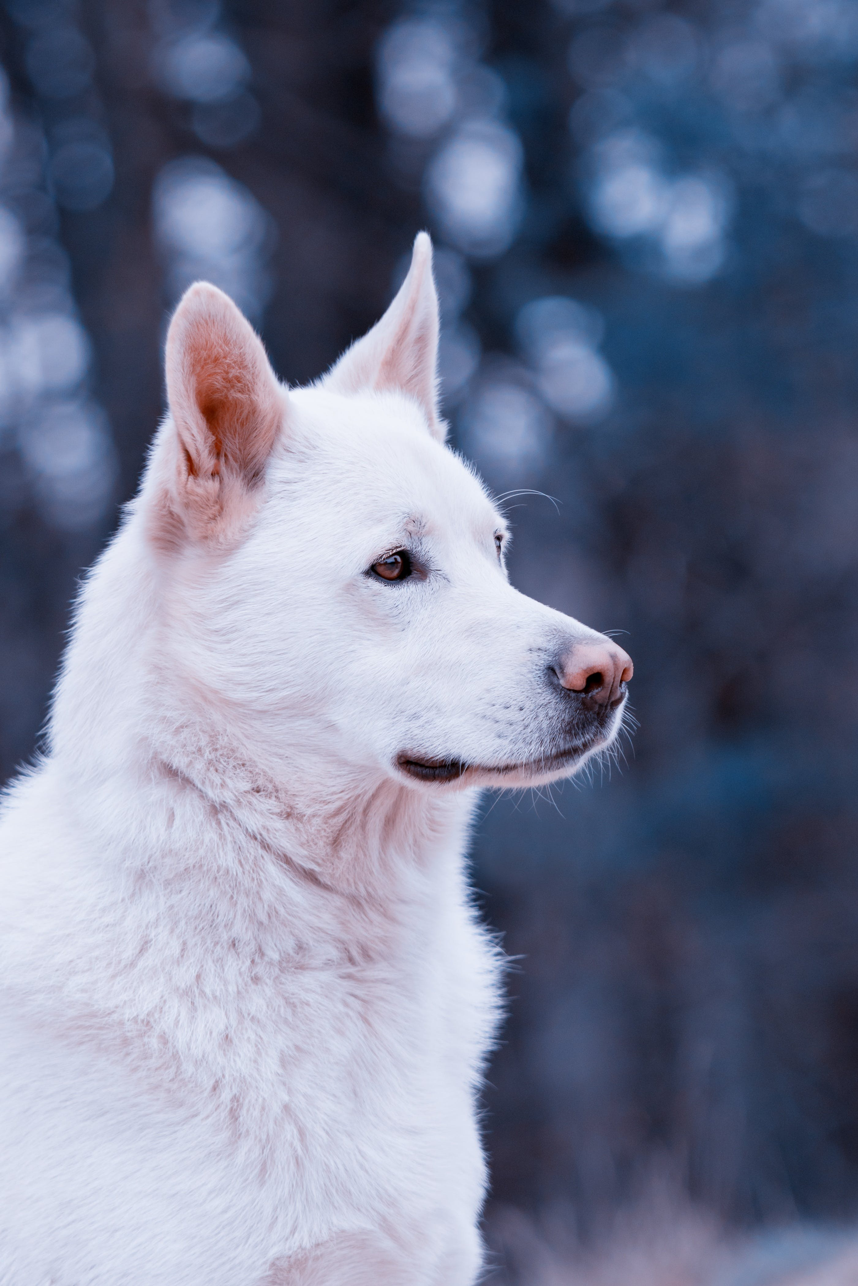 Adult White Shepherd on Selective Focus Photo