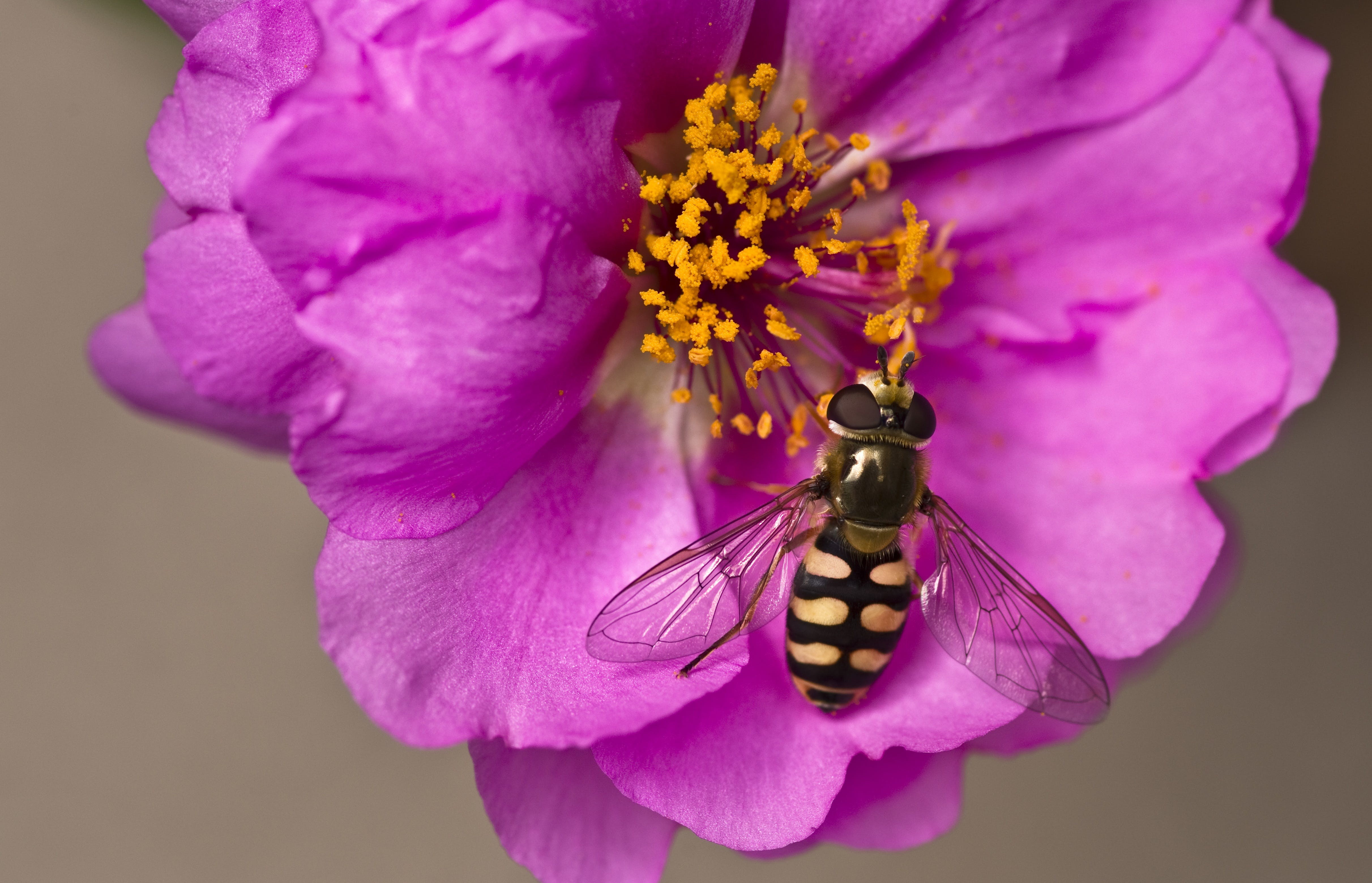 Free stock photo of close, flower, garden, hoverfly