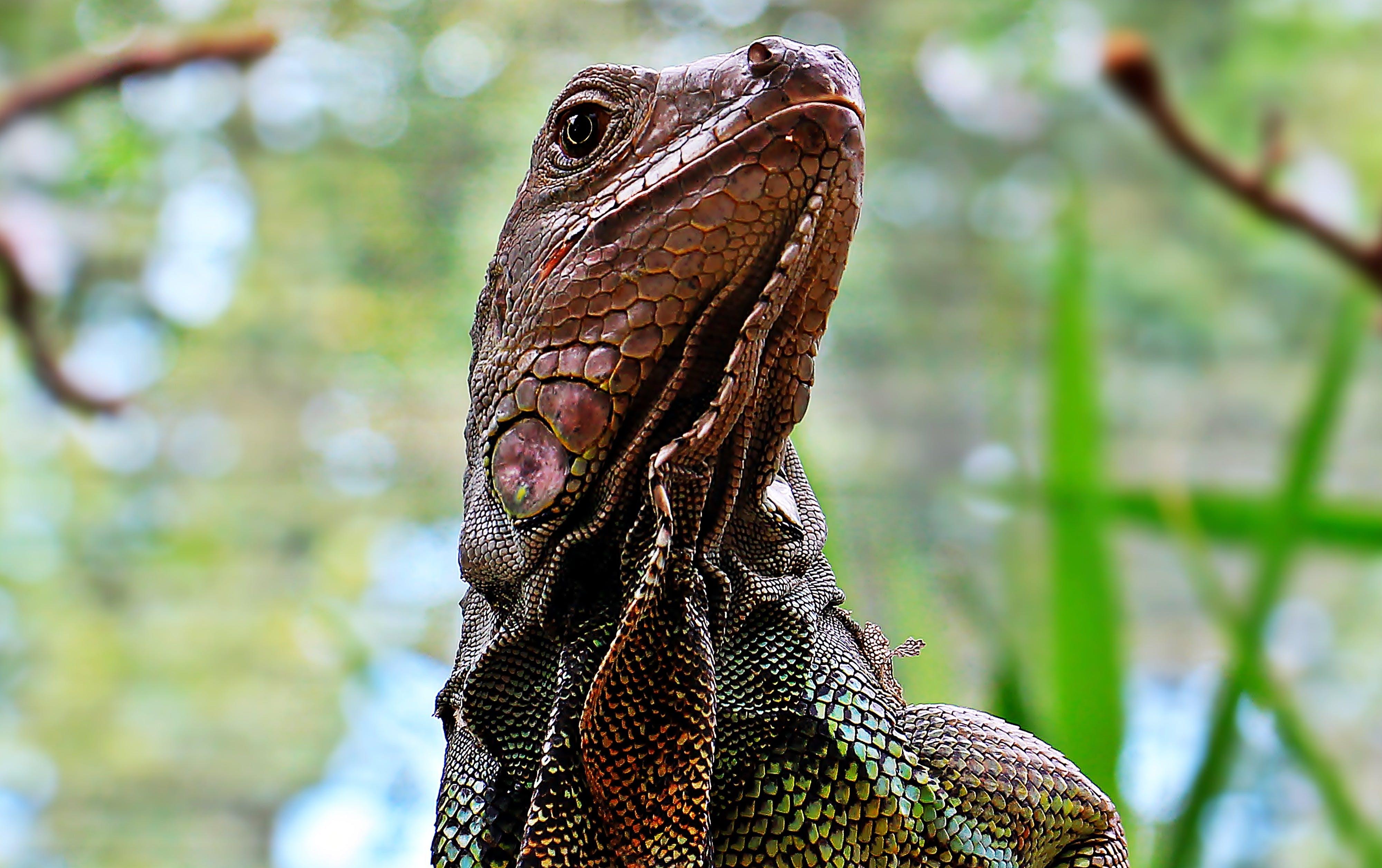 Free stock photo of animal, zoo, head, lizard