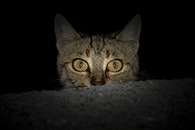 night, dark, animal