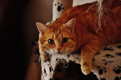 Orange Tabby Cat on Armchair
