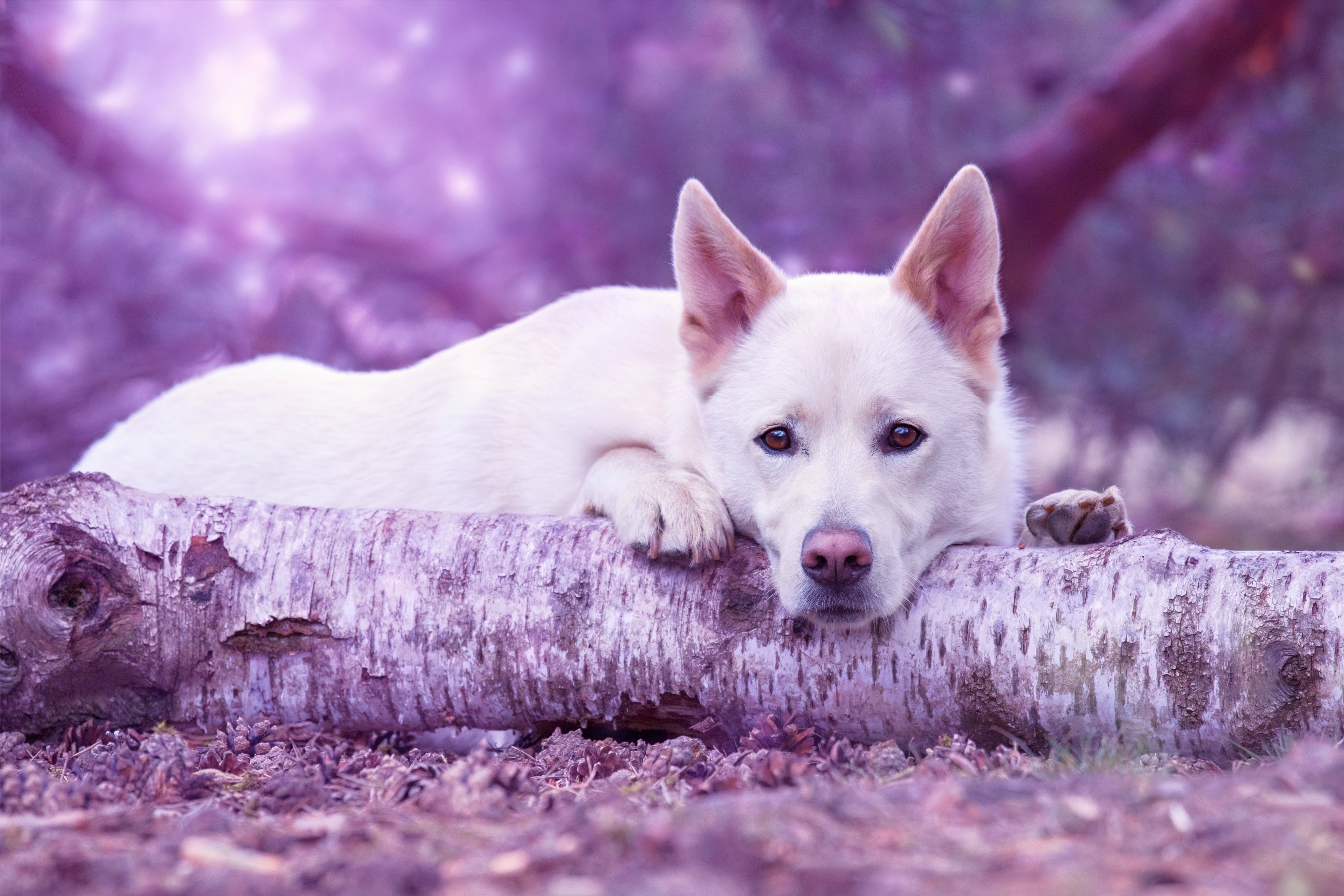 White German Shepherd Lying on Brown Log Close-up Photo