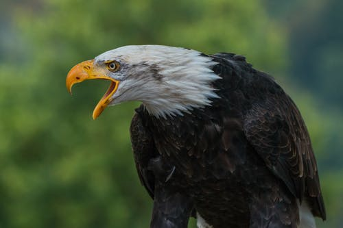 Close Up Photography of White Black Eagle during Daytime