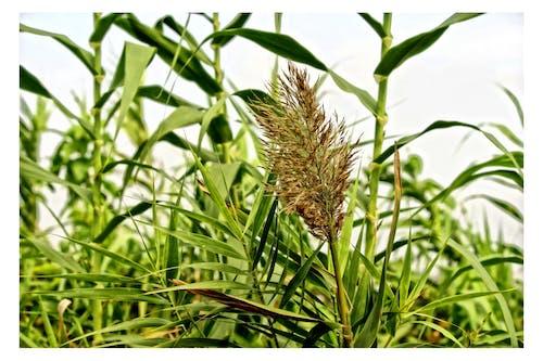 Foto d'estoc gratuïta de blat, camp, camp de blat, camps de cultiu