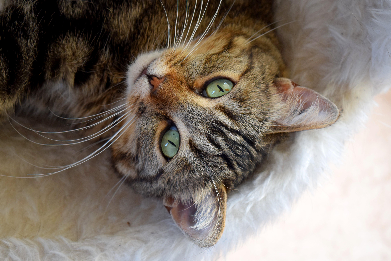かわいらしい, ひげ, ぶち, ネコの無料の写真素材