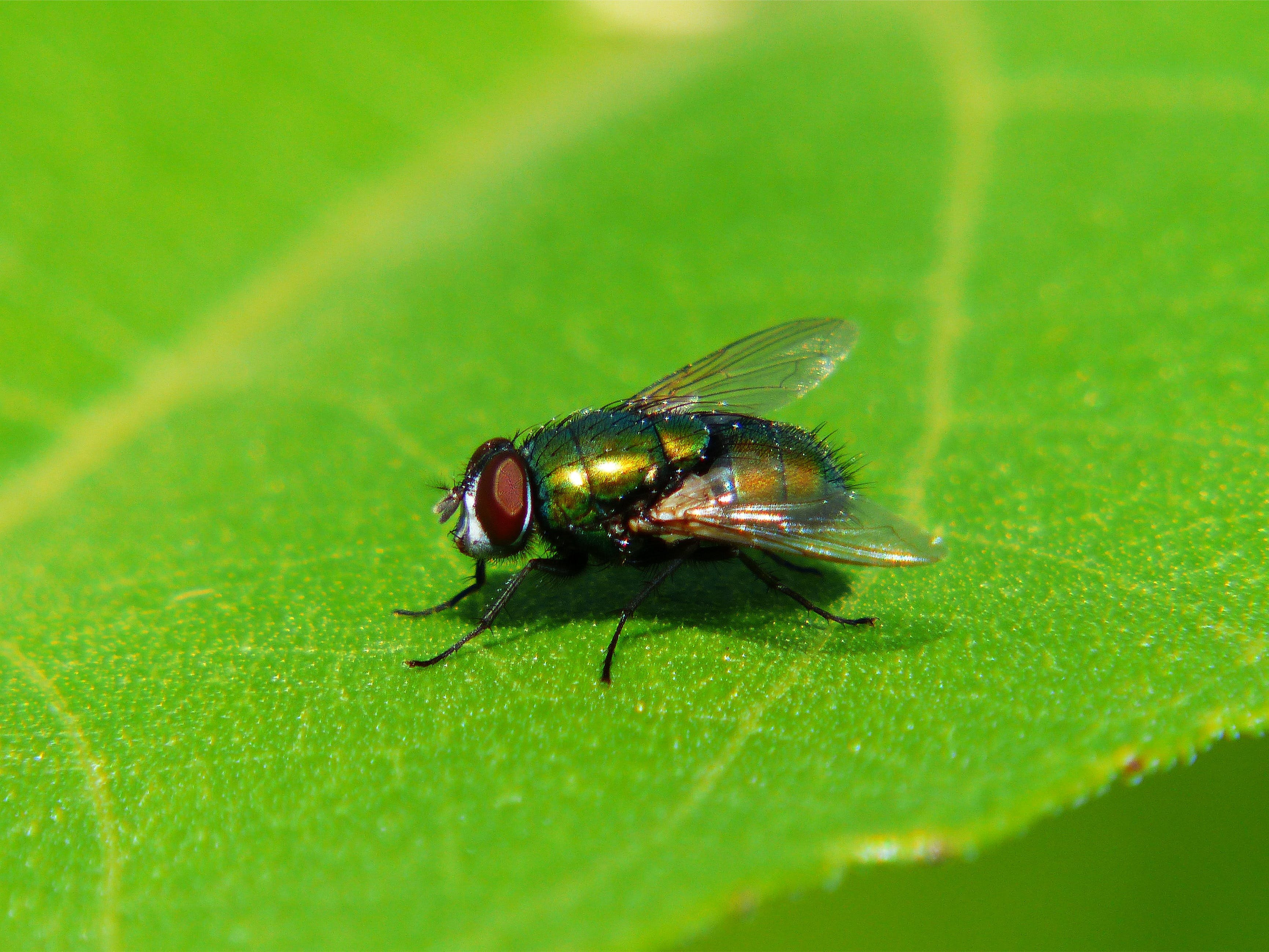 Free stock photo of fly, green, insect, leaf
