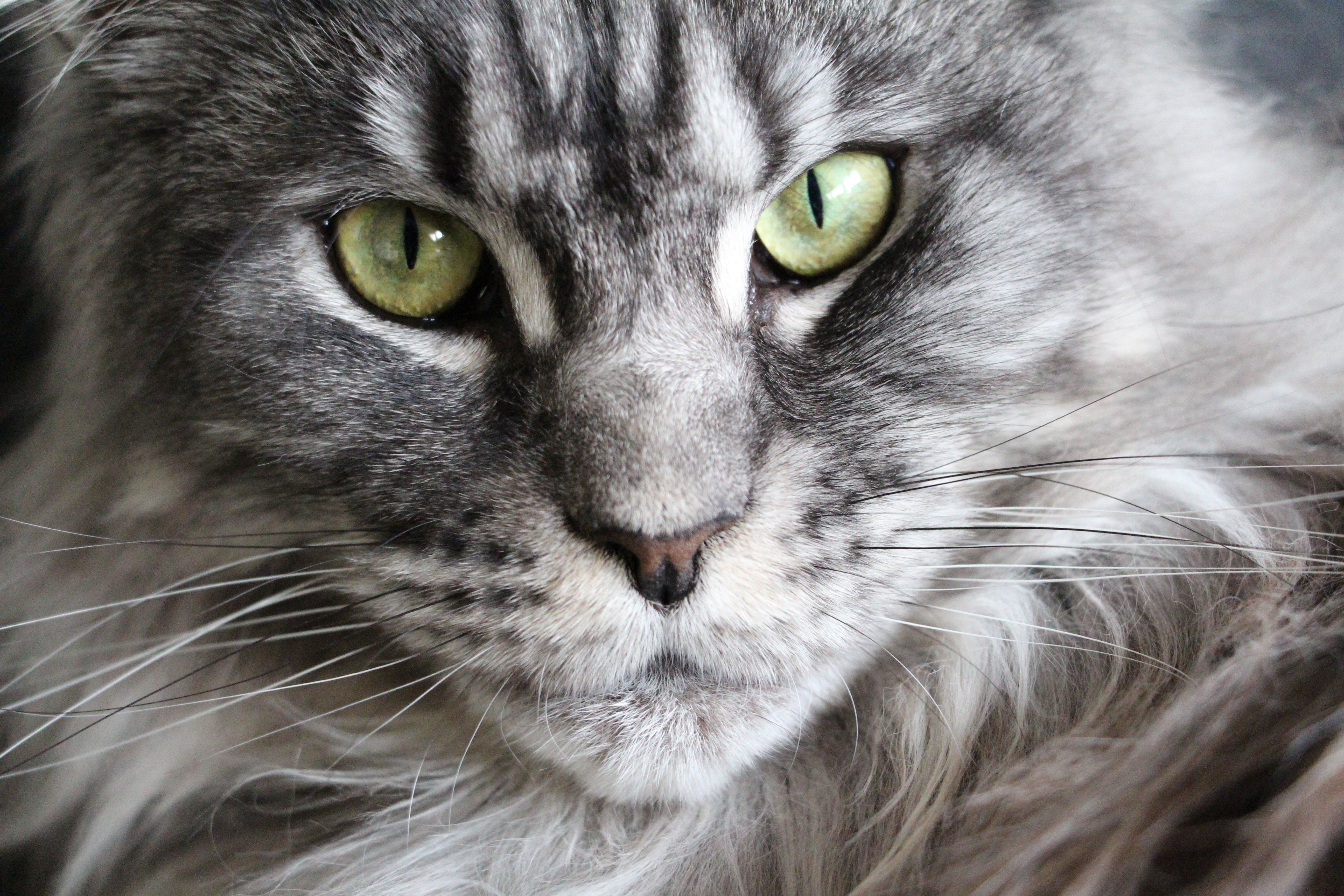Grey and White Coon Cat
