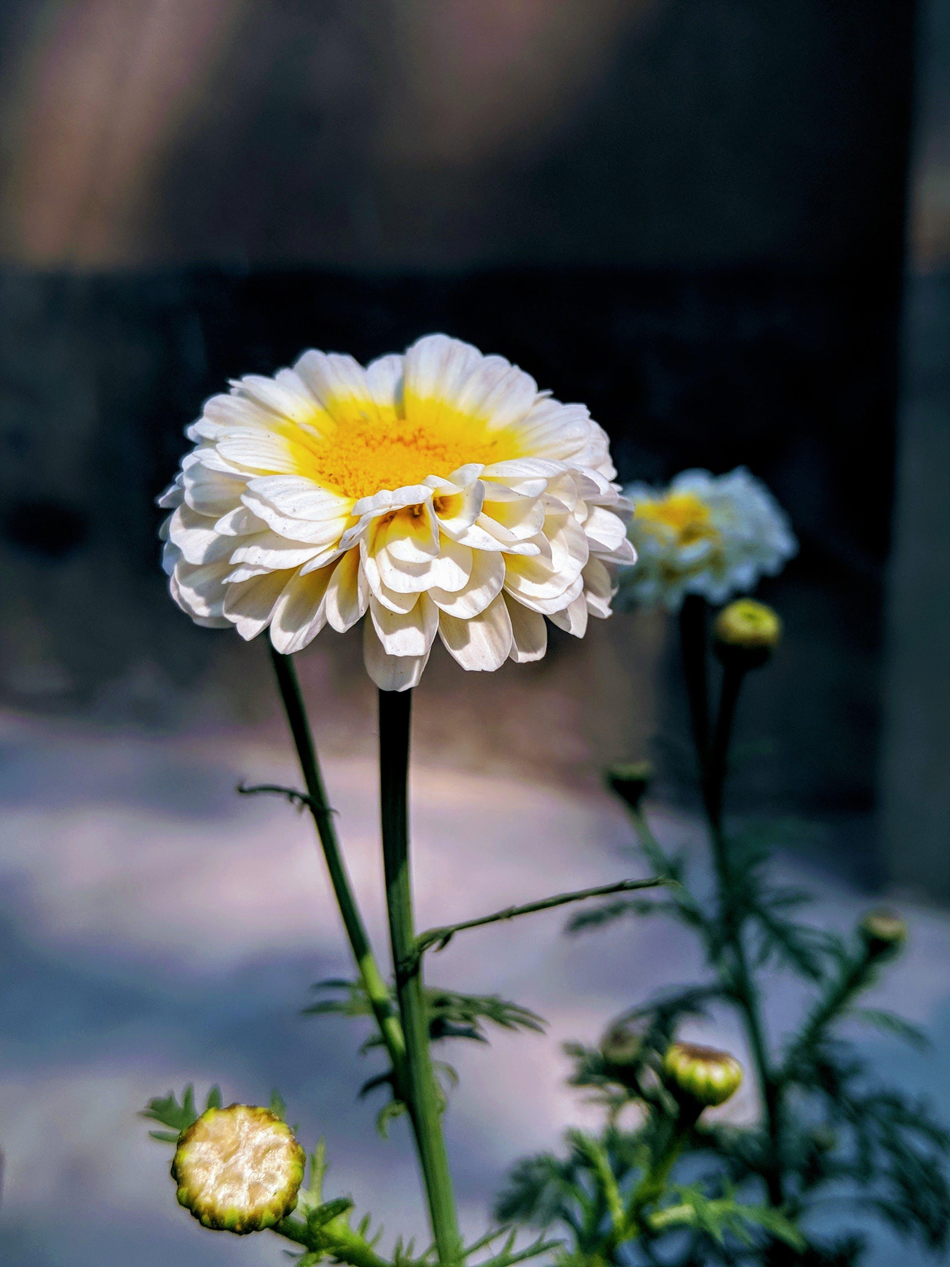 Kostnadsfri bild av vacker blomma