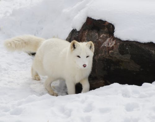 Snow Fox Near Brown Rock