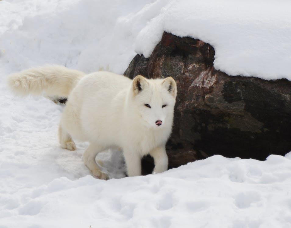 Snow Fox Near Brown Rock