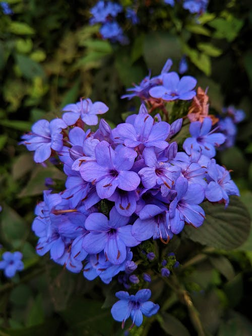 Gratis lagerfoto af blå blomster