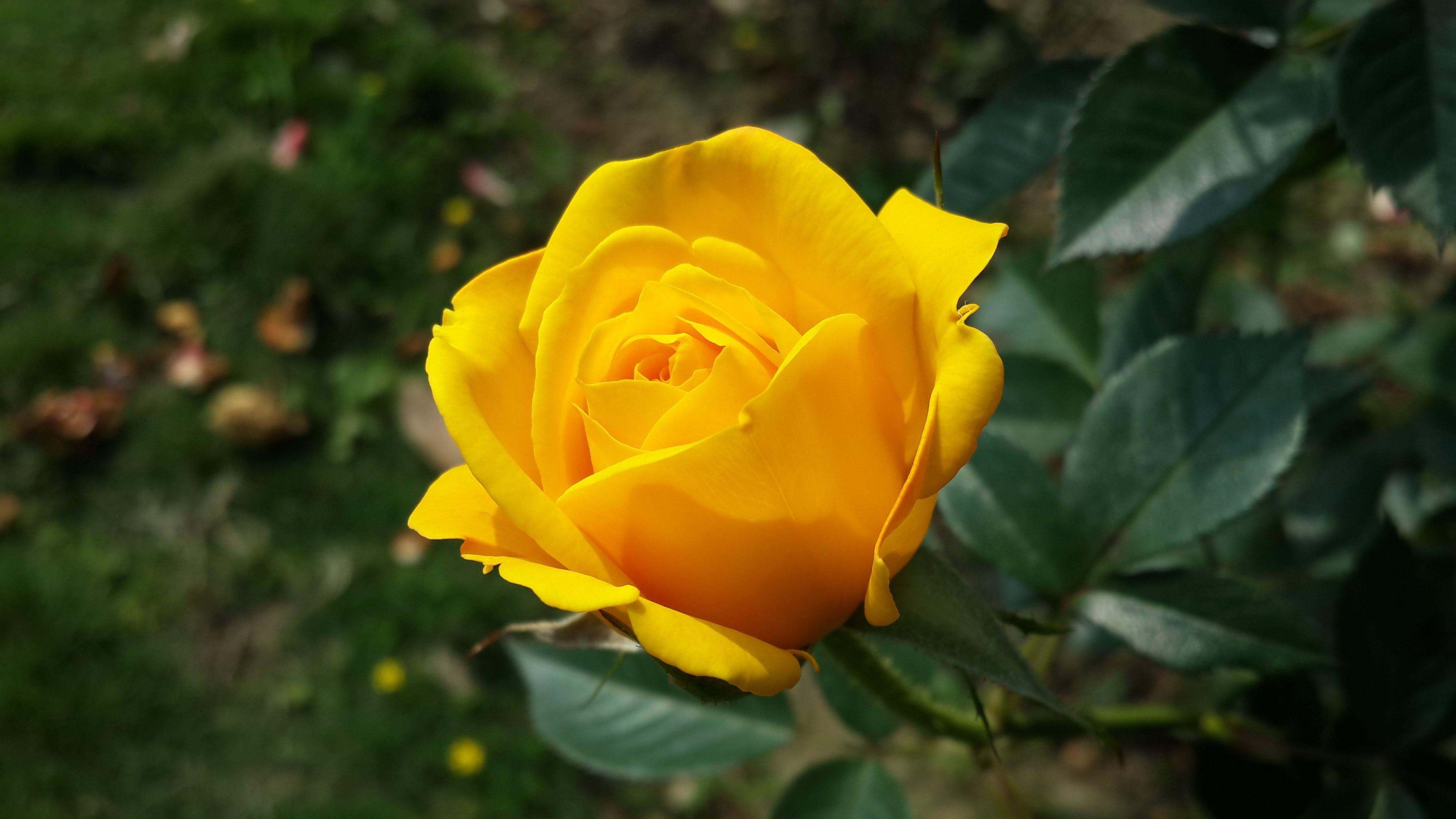 Kostenloses Stock Foto zu sommer, garten, gelb, blütenblätter