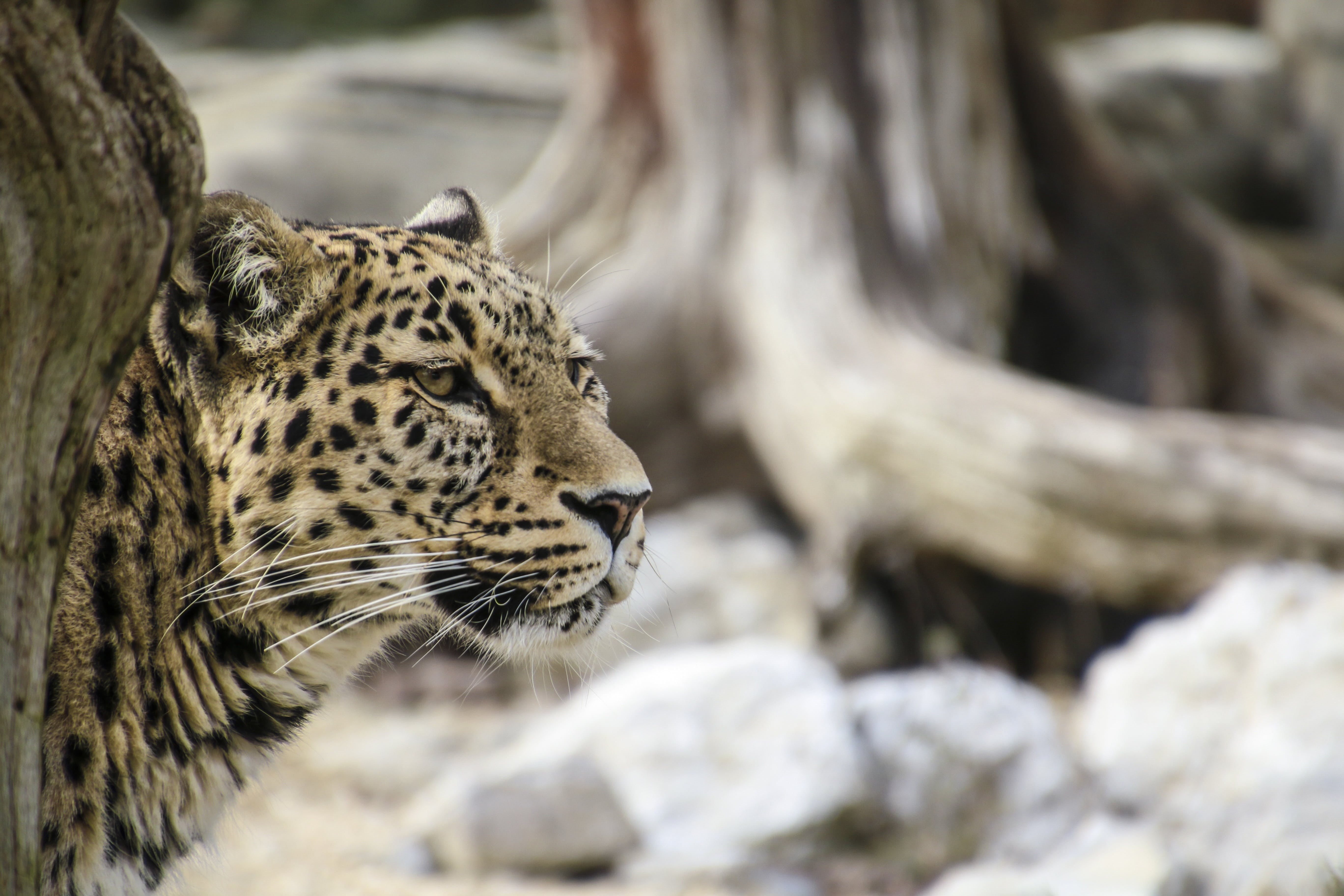Leopard Leaning Behind Tree