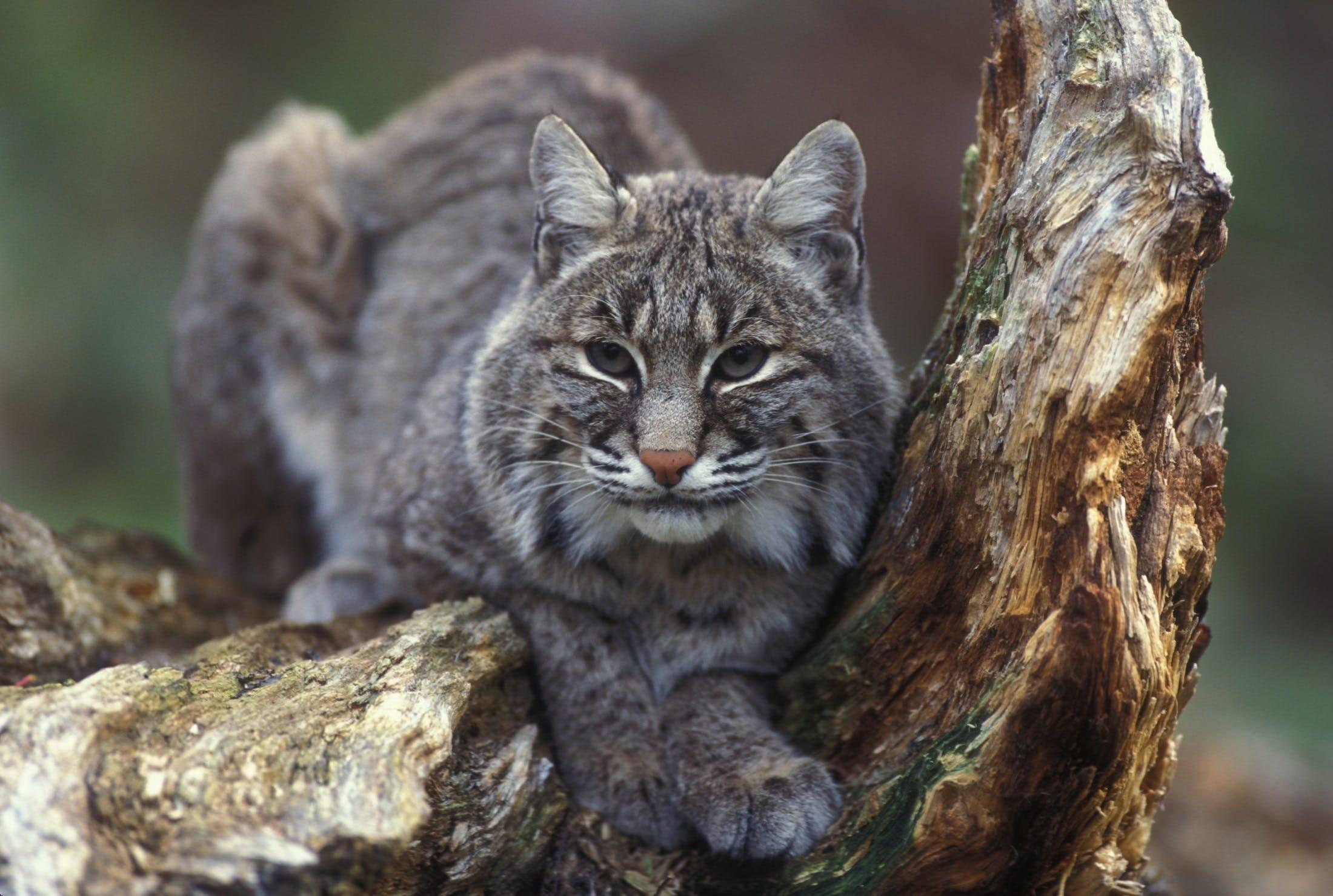 Gray Bobcat on Brown Trunk