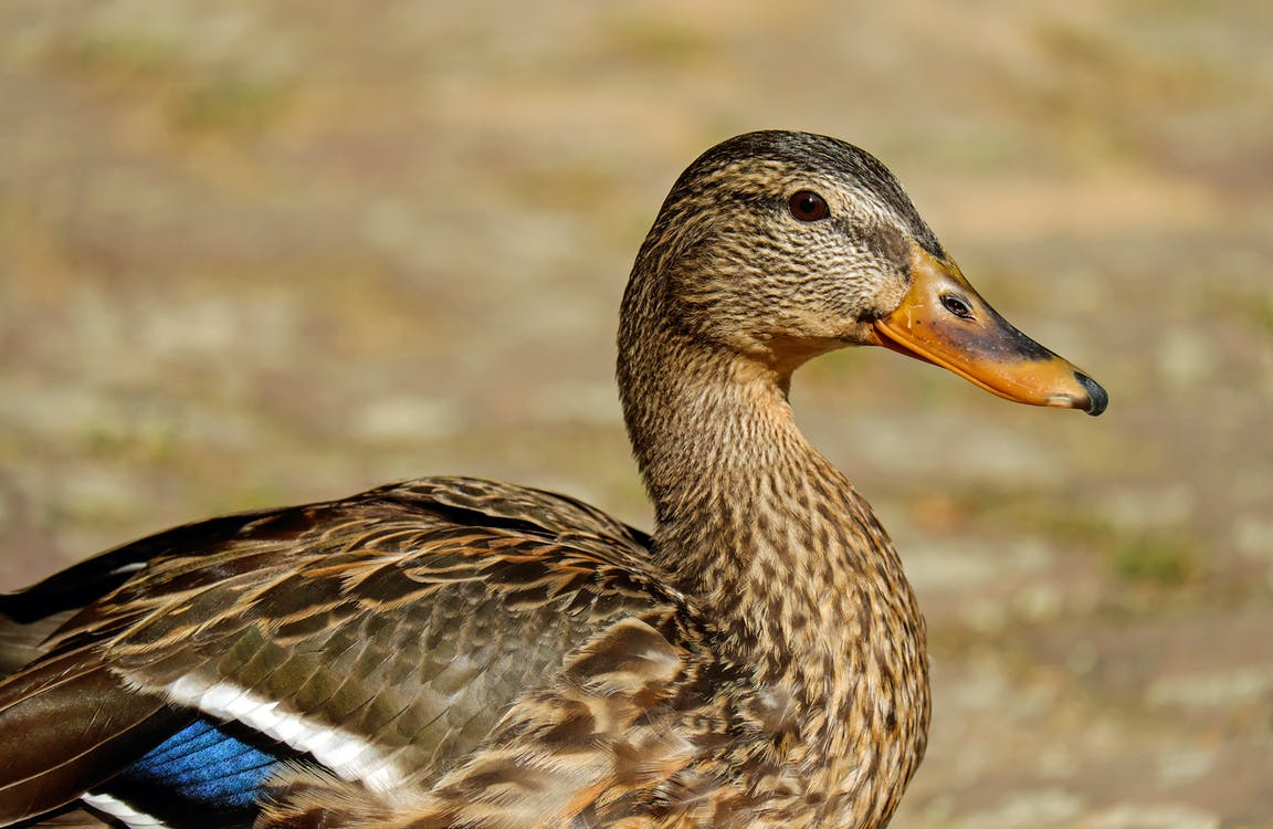 Brown White and Blue Duck