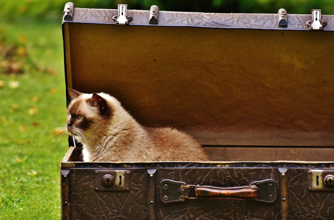 Siamese cat inside an open bag - Air Travel and Pets