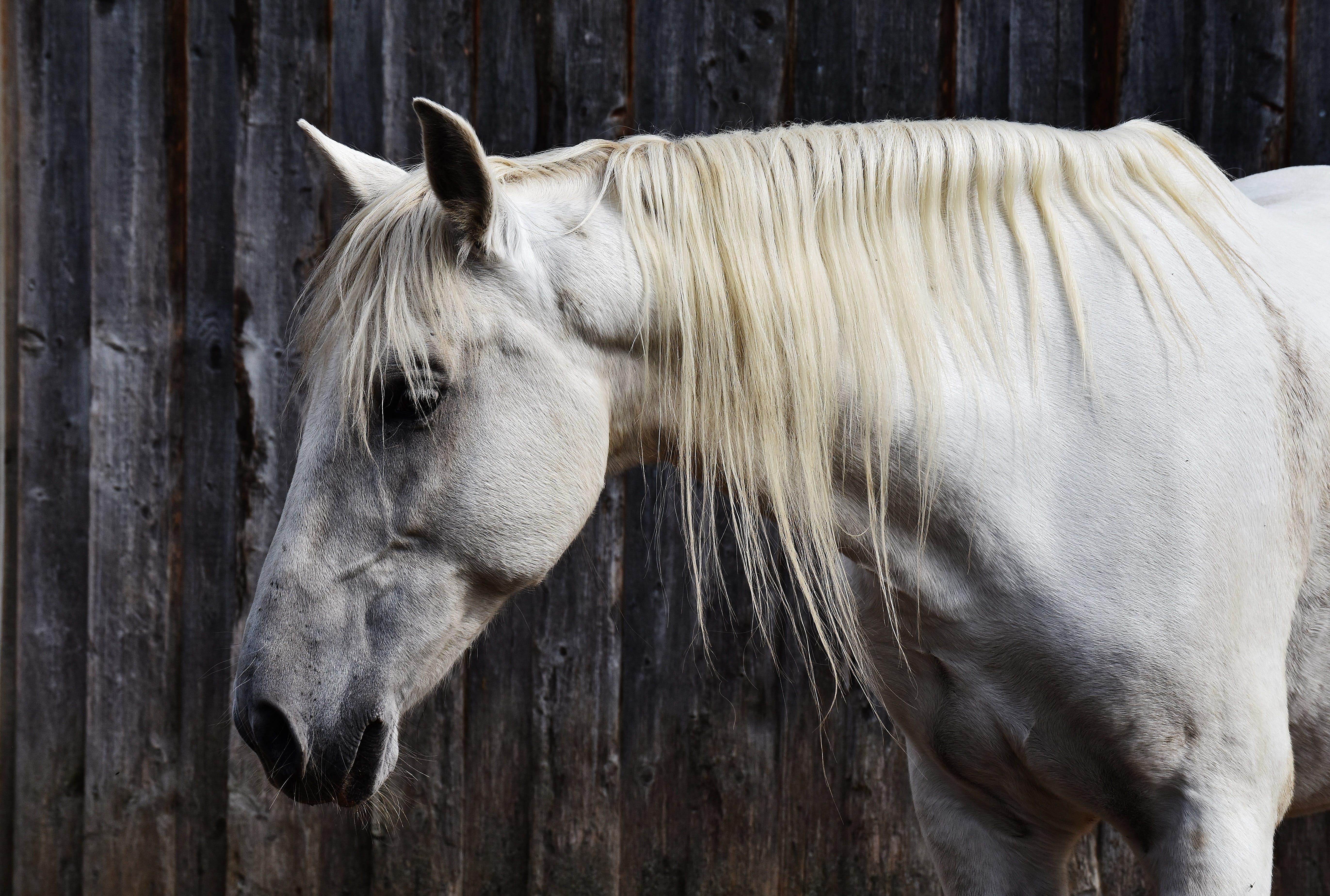 animal, equine, head