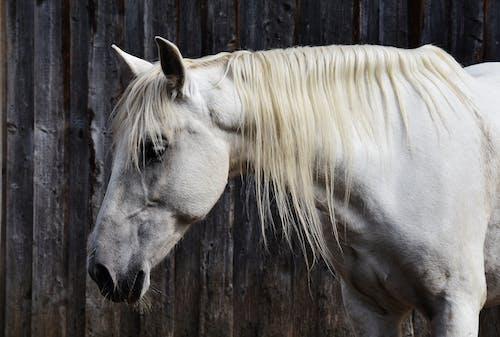Δωρεάν στοκ φωτογραφιών με άλογο, άσπρο άλογο, για άλογα, ζώο