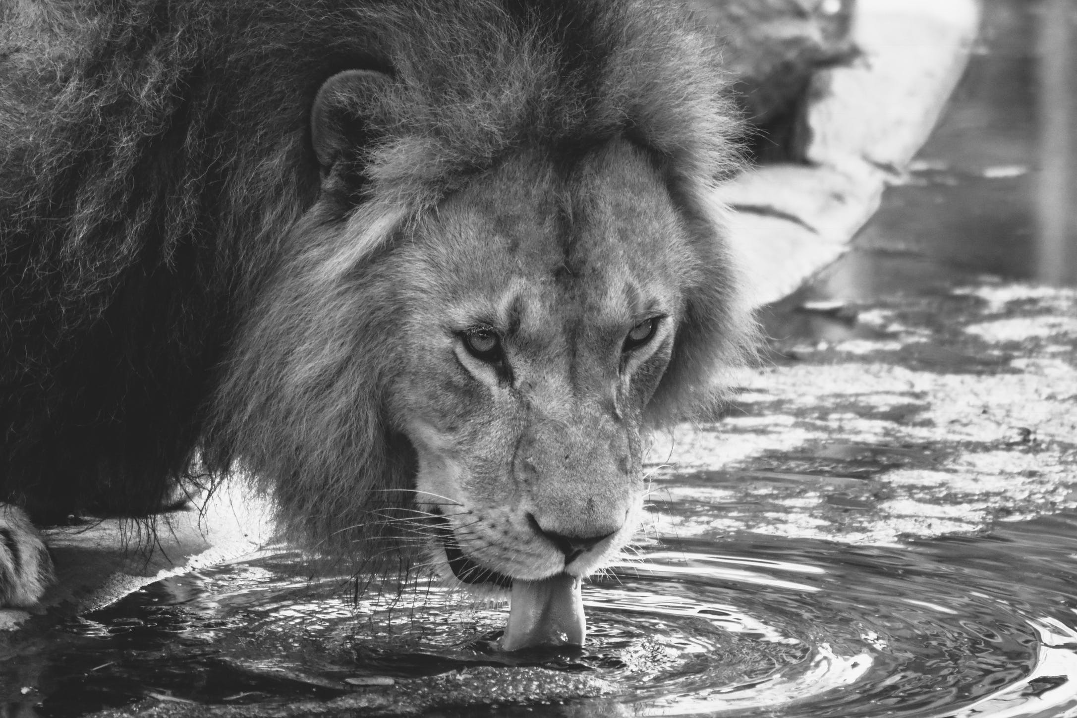 Grayscale Lion Drinking Water