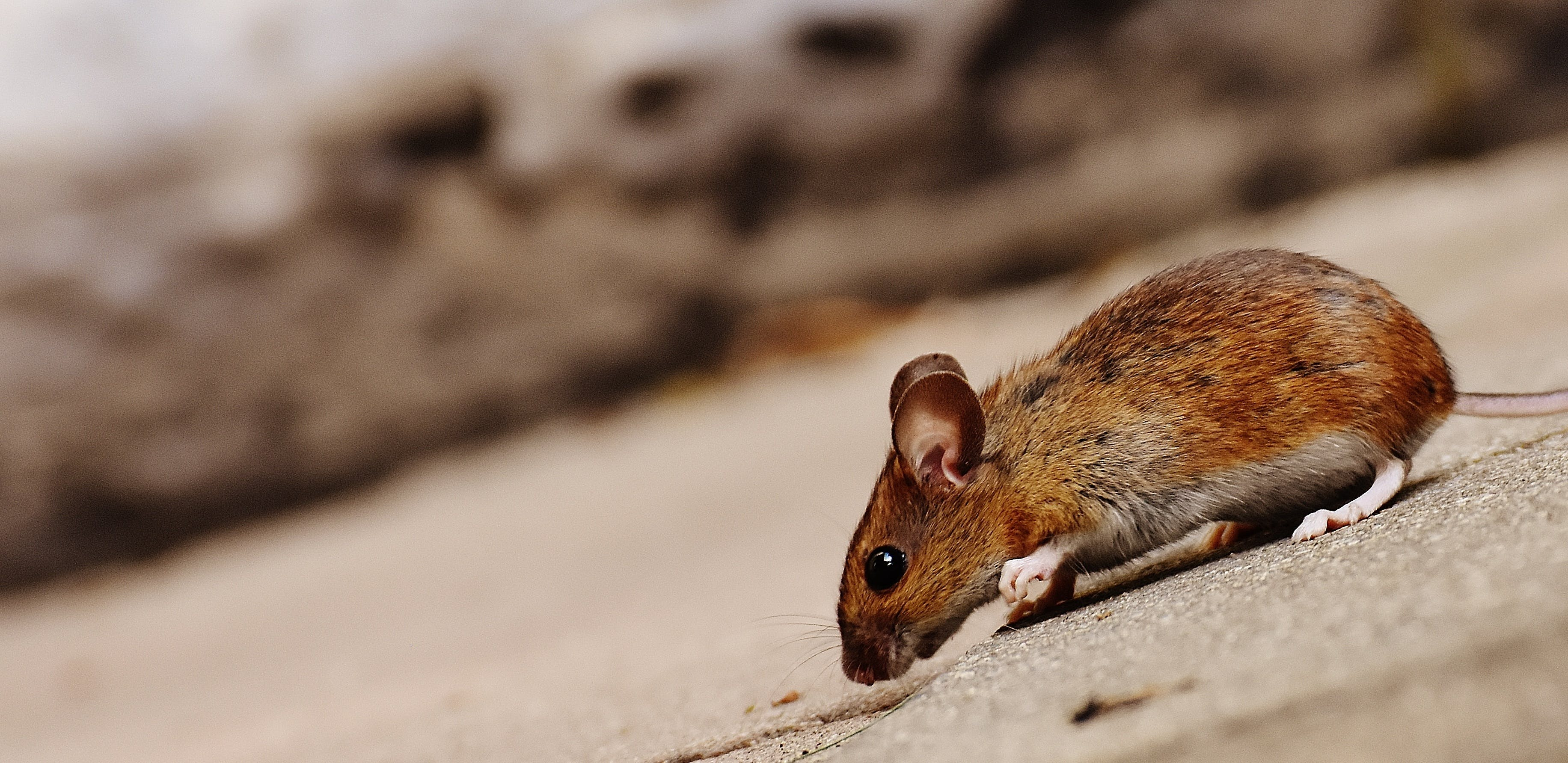 Brown Mouse on Paved Road