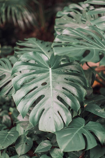 Close up photo of swiss cheese plant