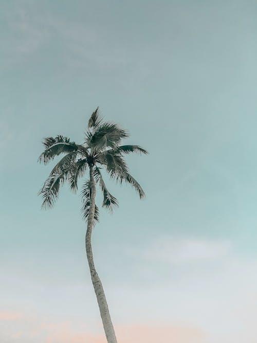 Fotobanka sbezplatnými fotkami na tému exteriéry, jasná obloha, kokosová palma, obloha