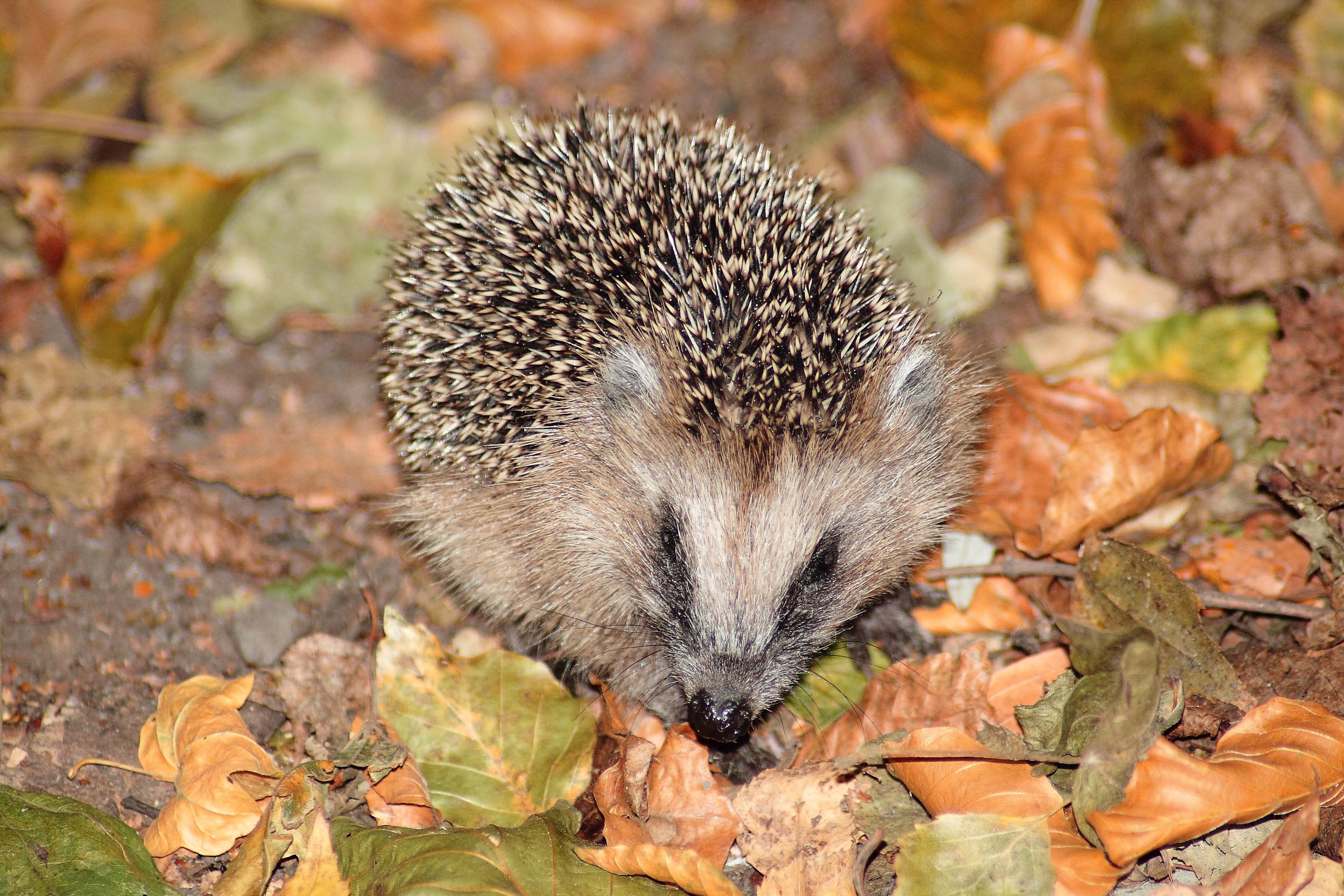 Brown Hedgehog on Brown and Green Leaves