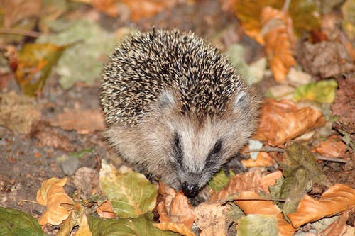 Brown Hedgehog on Brown and Green Leaves