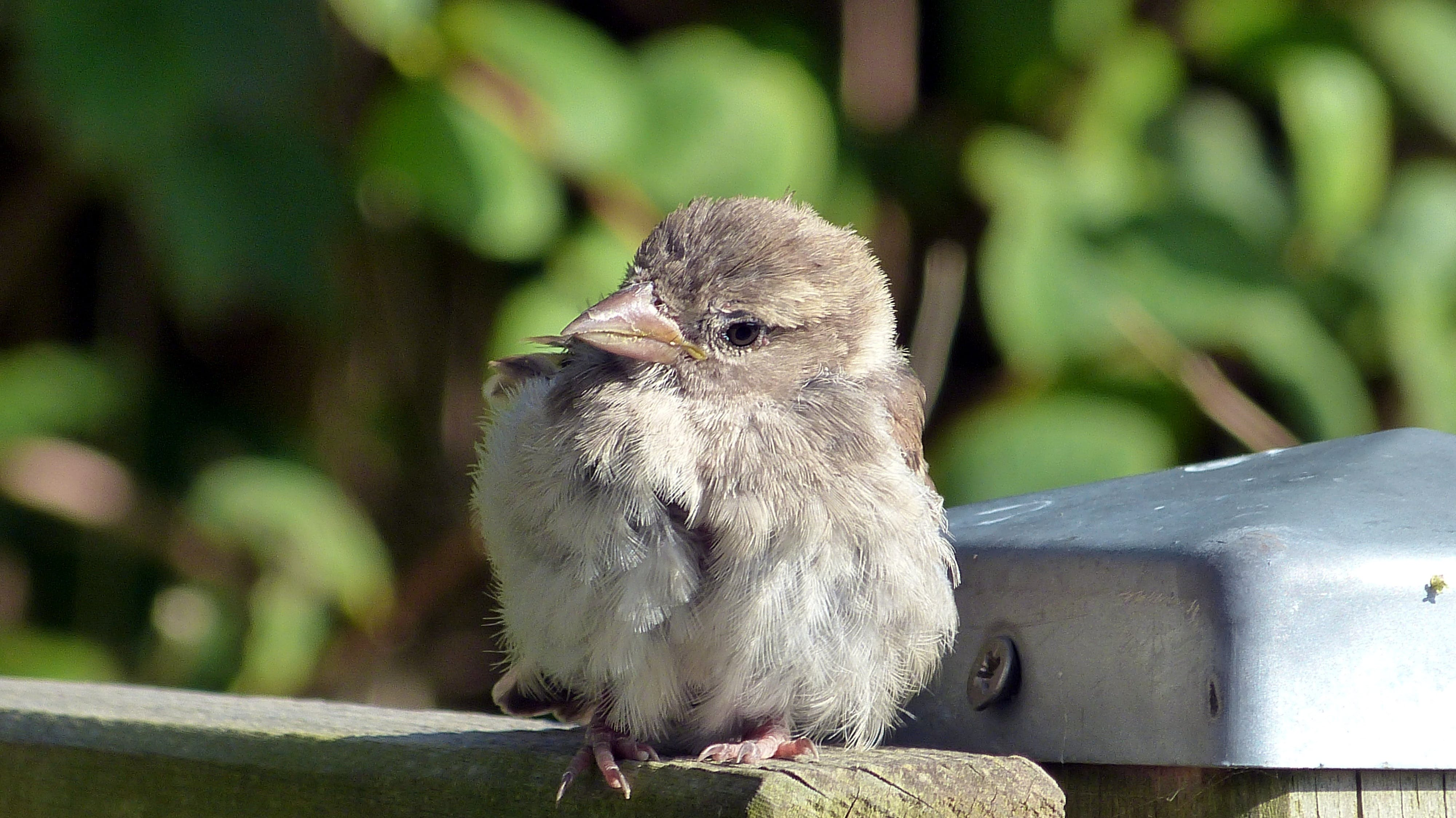 Free stock photo of cheeky, close, sitting, sparrow