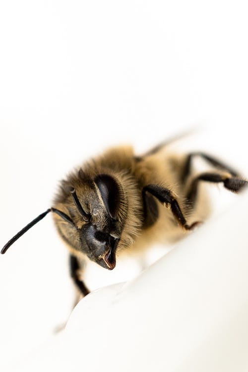 Honey Bee in Close-up Photography