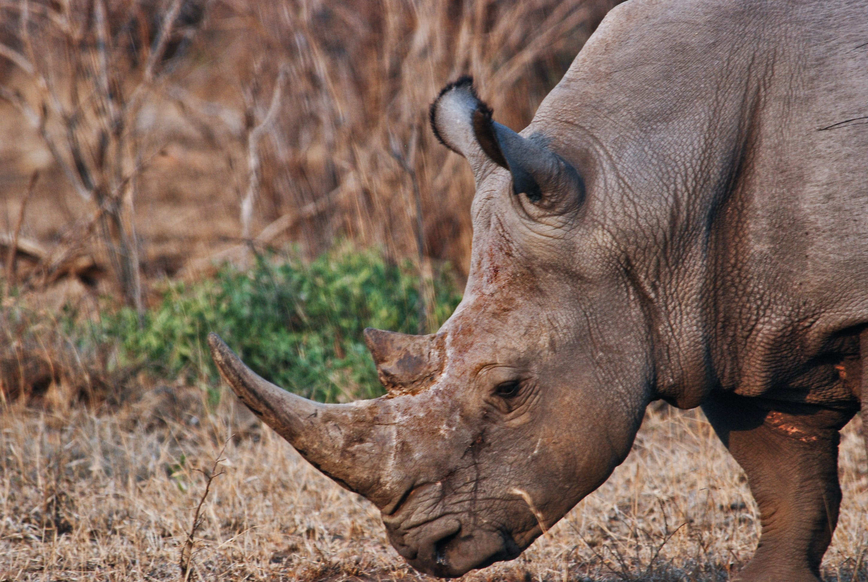 Brown Rhinoceros
