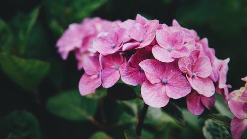 Kostenloses Stock Foto zu blume, hortensie, japan