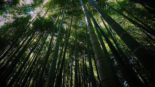 Kostenloses Stock Foto zu aufnahme von unten, bambus, bambushain