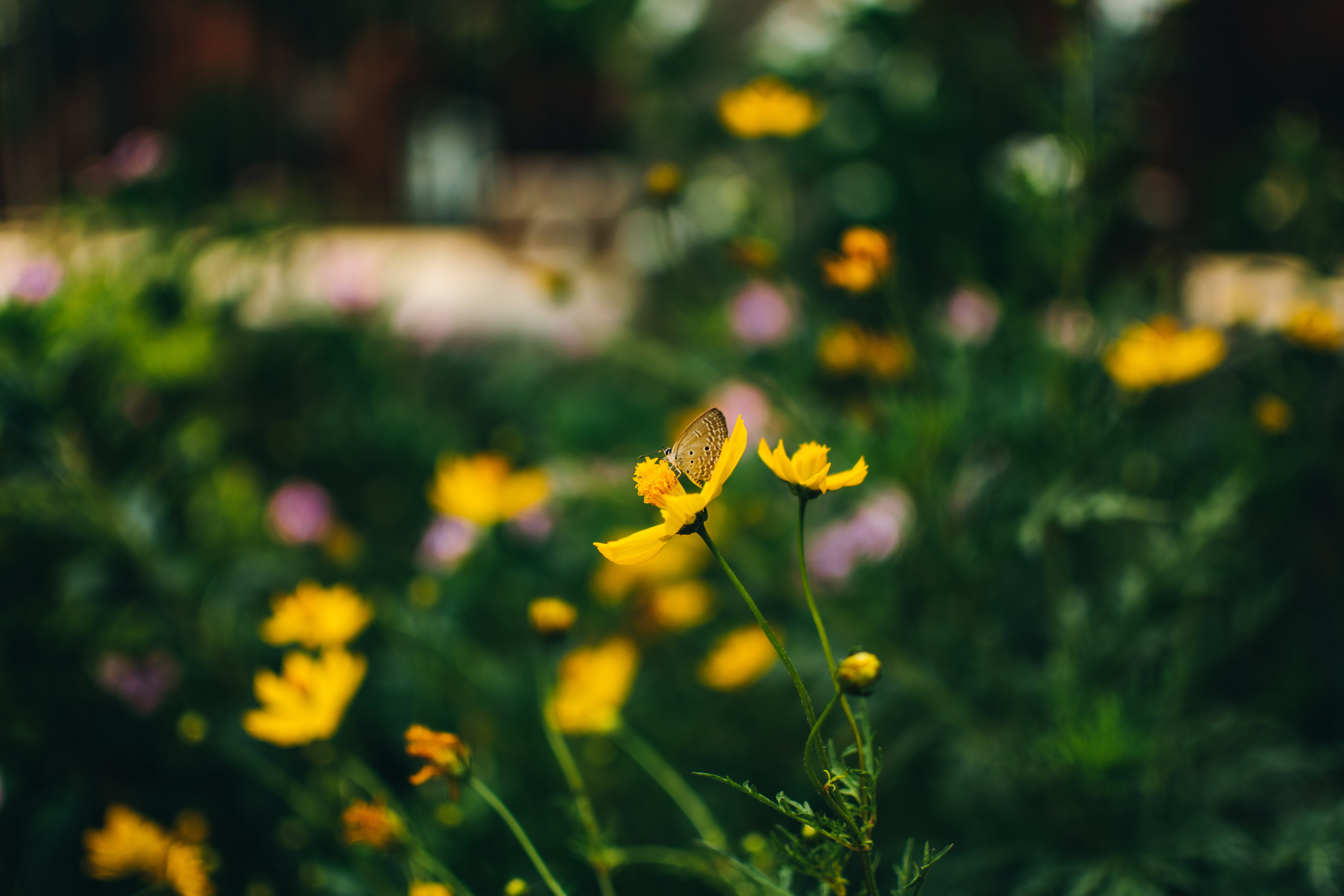 Selective-focus Photo of Butterfly on Yellow Flowers