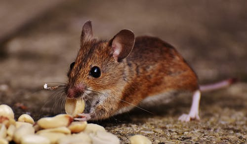 Brown Rat Eating Nut