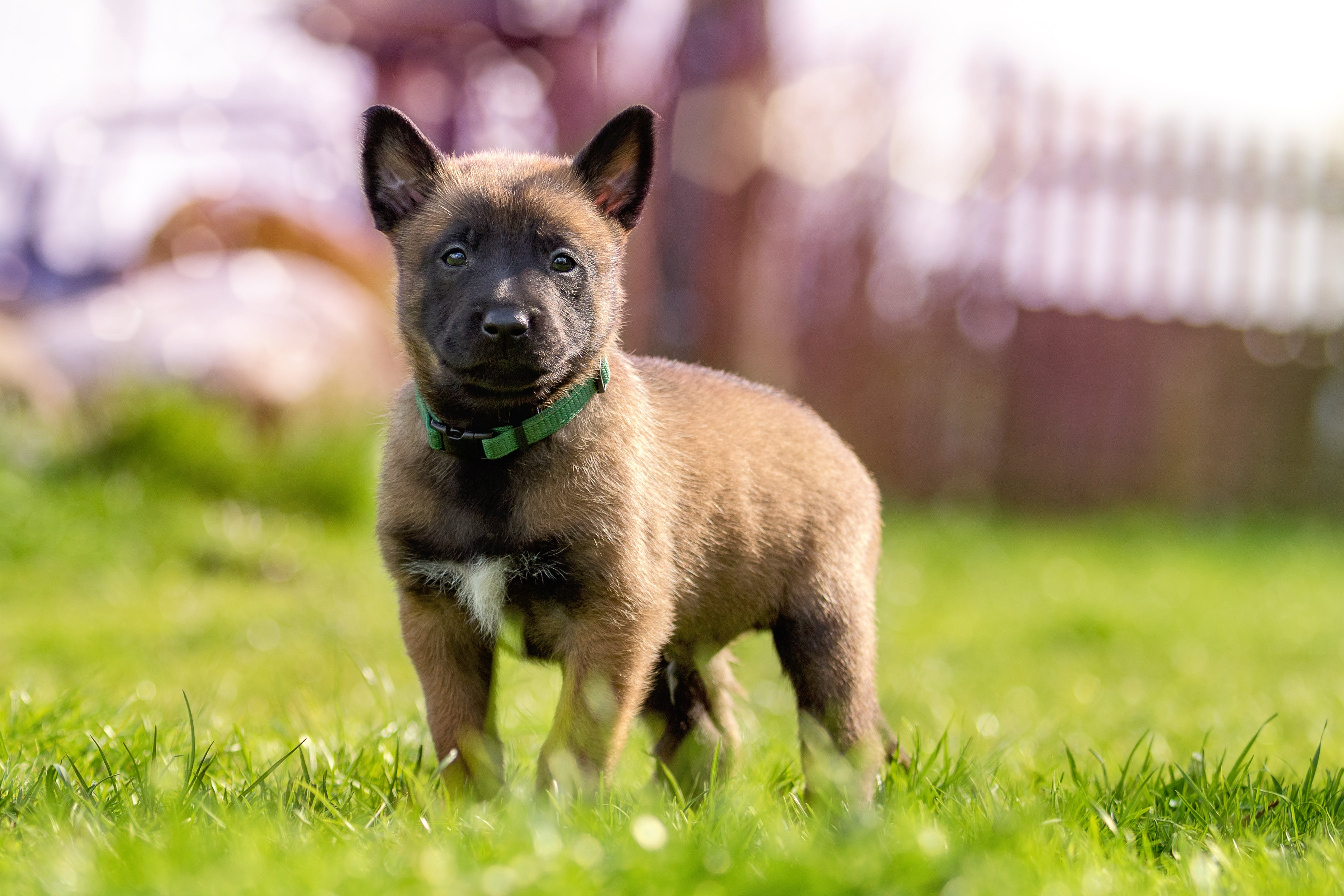 Fawn and Black Belgian Malinois Puppy on Green Grass
