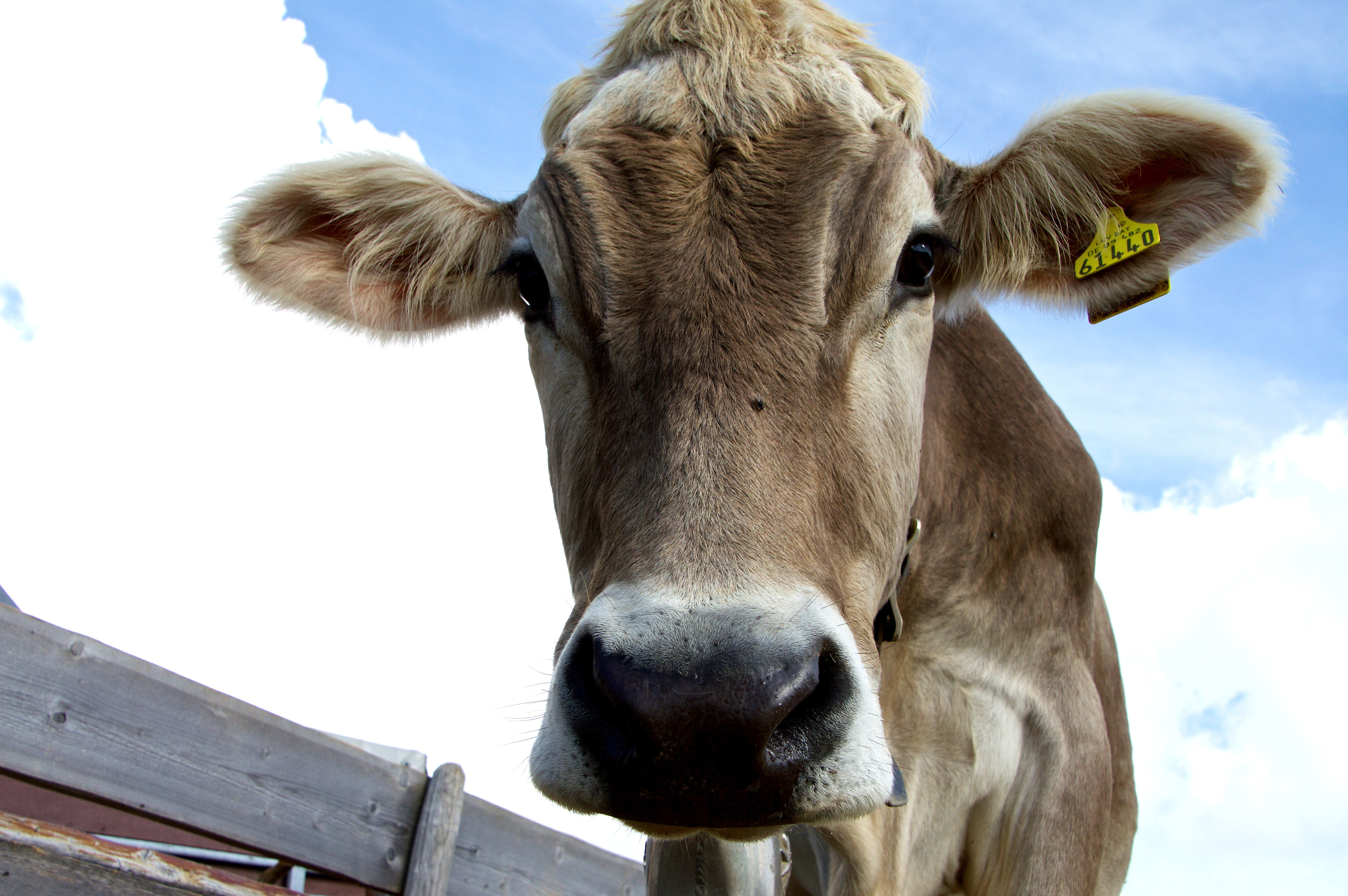 Brown Cattle Under White and Blue Sky