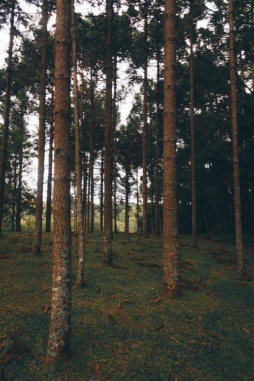 Immagine gratuita di alberi, ambiente, boschi, conifere